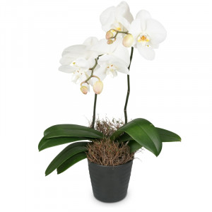Orchidea bianca (Phalaenopsis) in cachepot